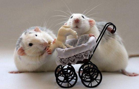 Совместимость Змея-Крыса: любовь и брак