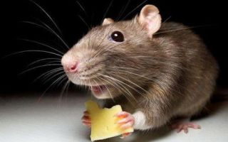 Совместимость крысы измеи — проблемы вотношениях