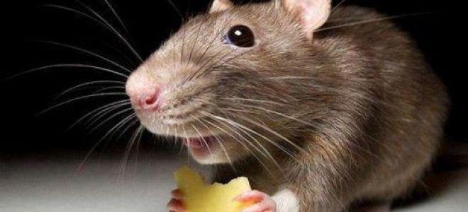 Совместимость крысы измеи