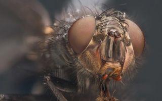 Значение сна — к чему снятся мухи по соннику