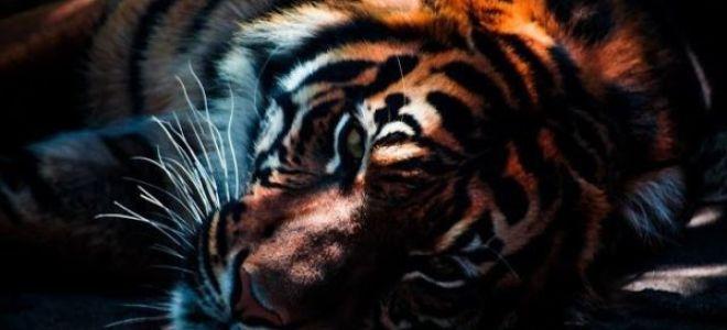Описание любовной совместимости между собакой и тигром