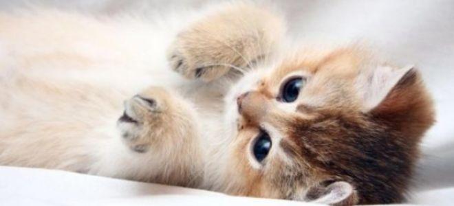 К чему снится маленький котёнок