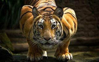 К чему снится тигр — правильное толкование сна
