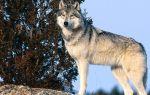 К чему снится волк: правильное толкование