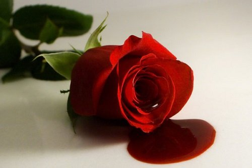опасная роза с кровью
