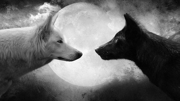 белый и черный волк