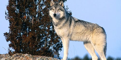 Белый волк во сне на сайте Сонник Гуру