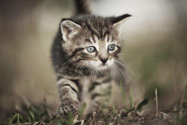 Сонник котенок шустрый