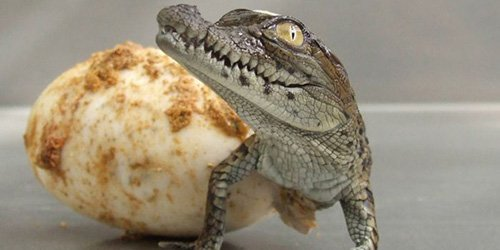 крокодильчик из яйца