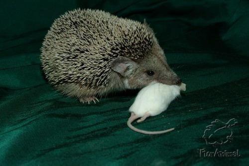 еж поедает мышь