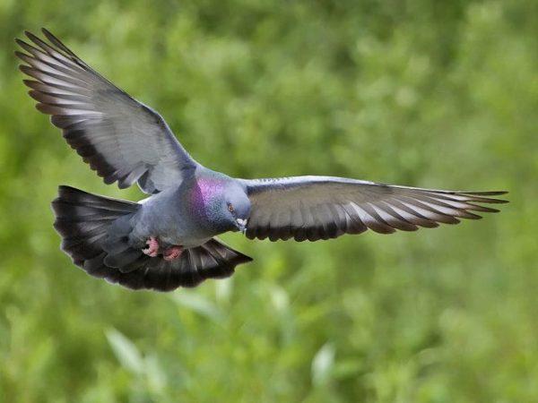 К чему снятся голуби - точное толкование по Соннику || Сонник много голубей на улице