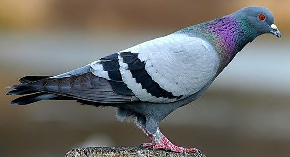 What do pigeons dream about? Exact interpretation according to Sonic