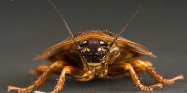 Сонник тараканы коричневые