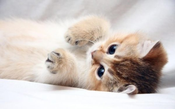 Сонник рыжие котята маленькие много