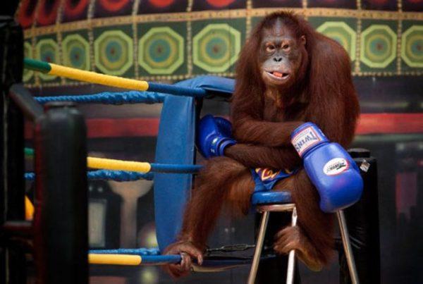 приснилась драка с обезьяной
