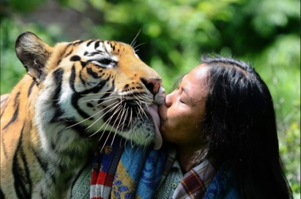 приснился ласковый тигр