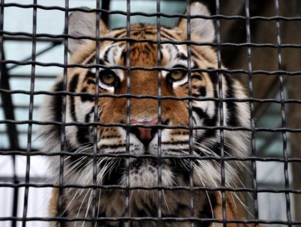 приснился тигр в клетке