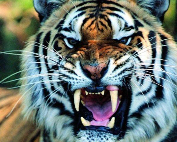 приснился агрессивный тигр