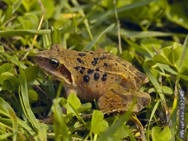 снится коричневая лягушка