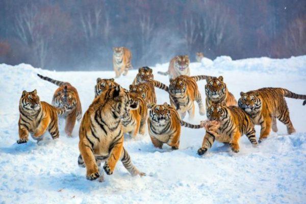 приснились тигры