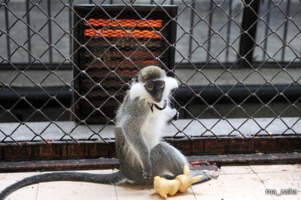 снится обезьяна в зоопарке