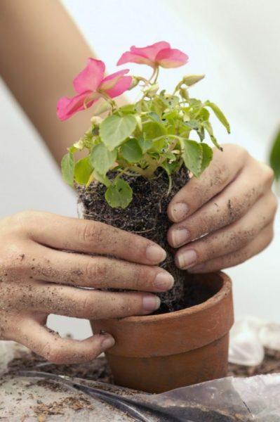 пересаживать комнатные цветы