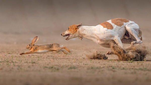 собака гонится за зайцем