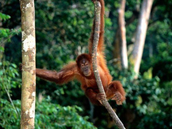 снится обезьяна в джунглях