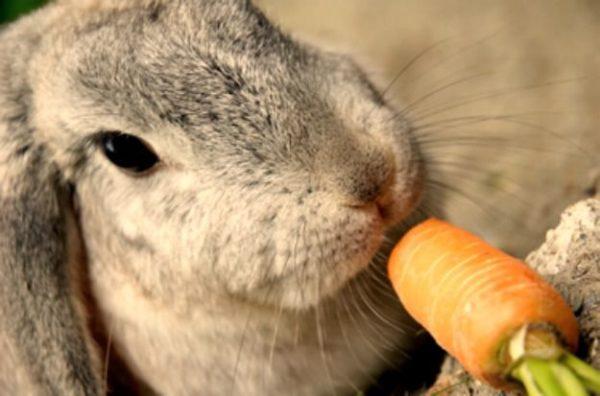 кормить кролика