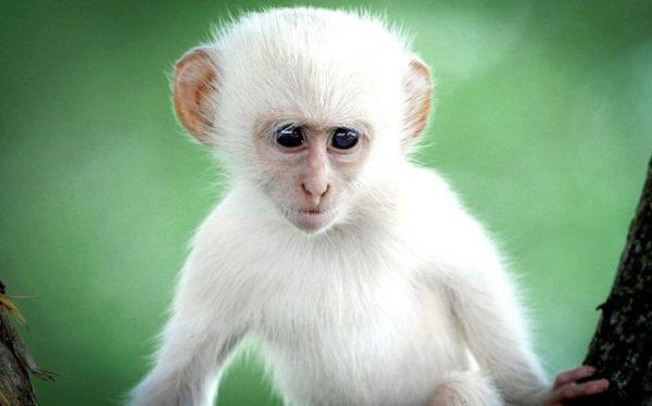 приснилась белая обезьяна