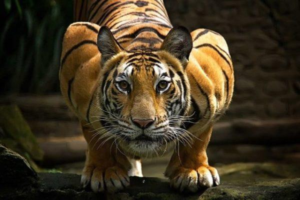 Исламский сонник нападение тигра на человека