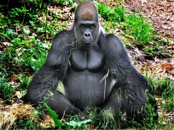 снится большая обезьяна