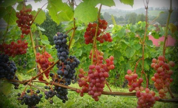 виноградник во сне