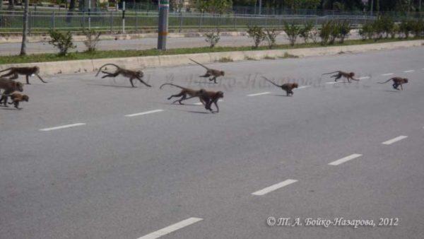 приснились гонящиеся обезьяны