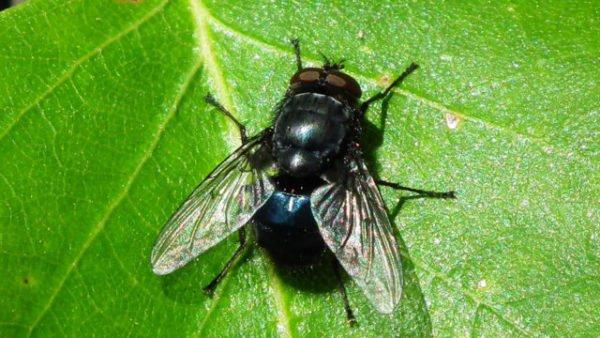 черная муха во сне