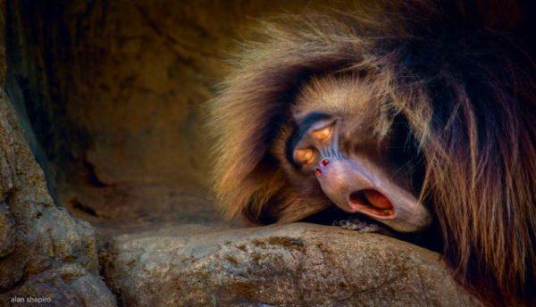 сон про обезьяну
