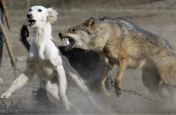 драка собаки с волком