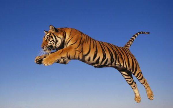 приснился тигр сонник Миллера