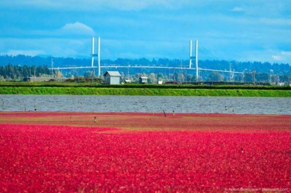поле красных ягод