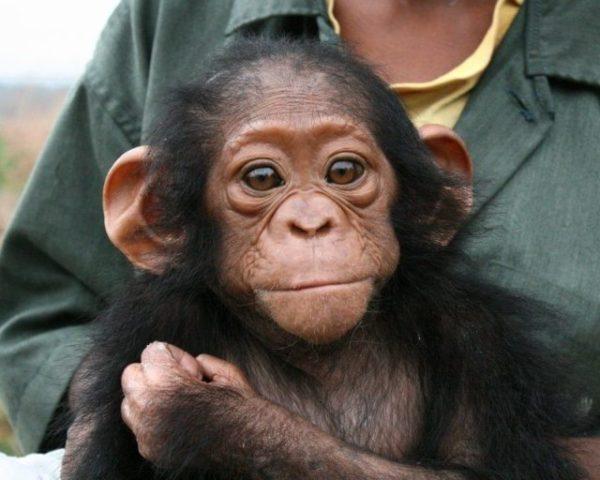 приснилась обезьяна на руках