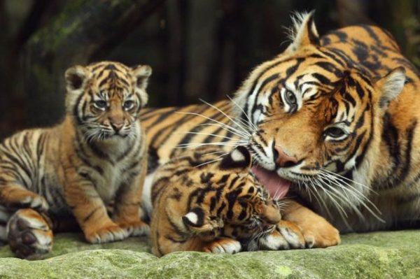 тигрица с детенышами