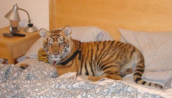 тигр в доме