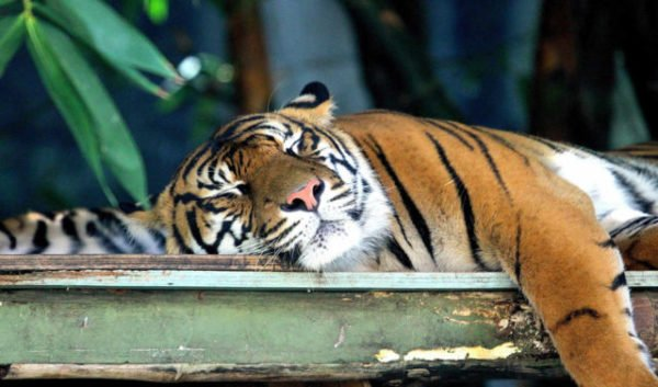 приснился отдыхающий тигр