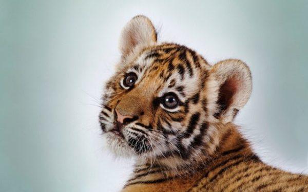 взаимодействие с тигренком во сне