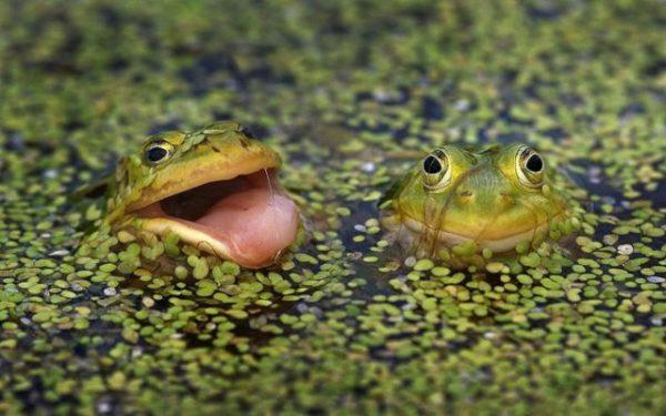приснились лягушки в болоте