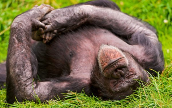 сон об обезьяне