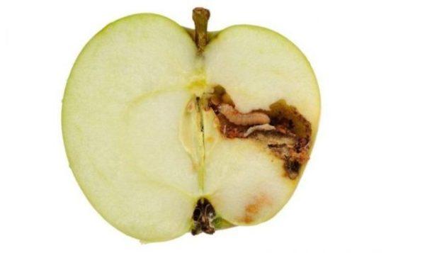 яблоко с червем
