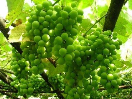 зеленый винград