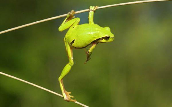 к чему снится лягушка по соннику Медеи