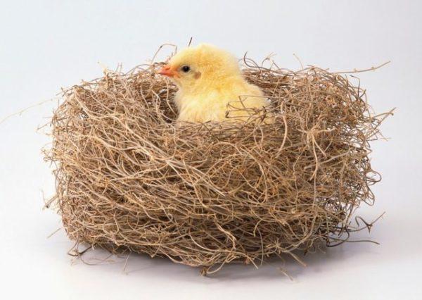 маленький цыпленок по соннику